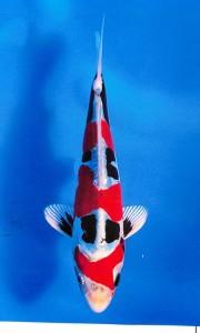 国際幼魚総合大賞